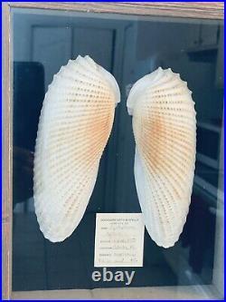 Nautical Beach Large Cyrtopleura costata Angel Wings Linnaeus 1758, Cedar Key